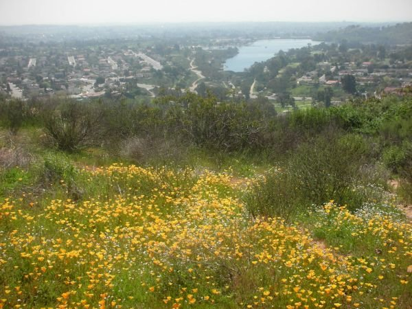 Flowers Blooming On Cowles Mountain