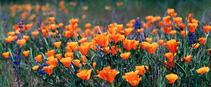 spring poppies in san diego county