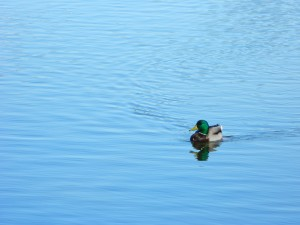 Lake Murray Duck