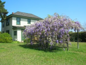 Wisteria at the Historic McKinley House in La Mesa